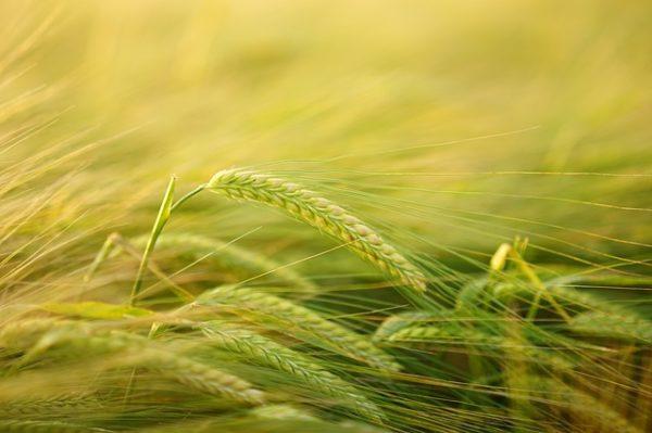 Ruralni ravoj - polje trave