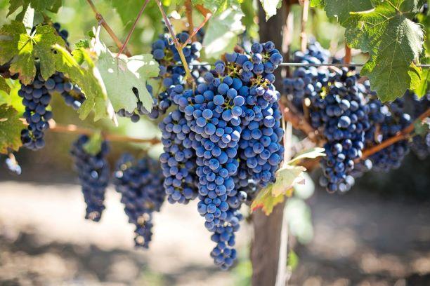 Vinograd, grozd - Ulaganja u vinarije i marketing vina