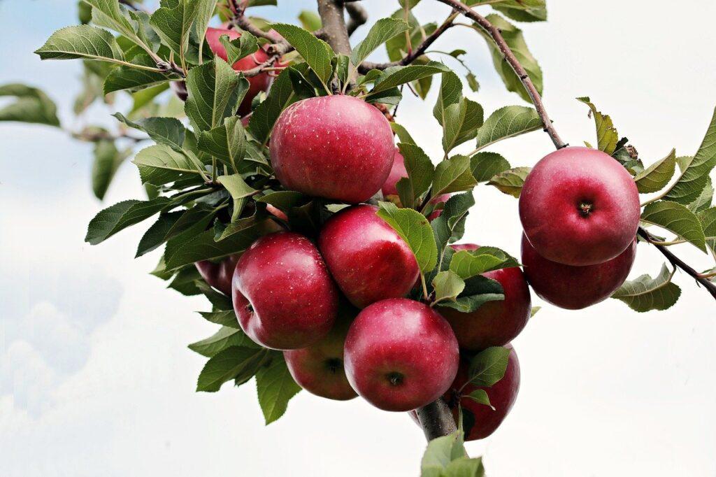Ulaganje u nove nasade - jabuke na krošnji