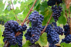 4.1.1 - Vinograd, crno grožđe